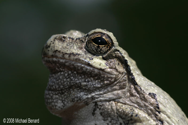 Noble Gray Treefrog