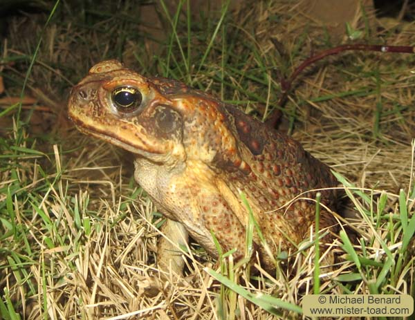 A Cane toad seen in Maui