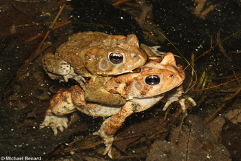 breeding toads