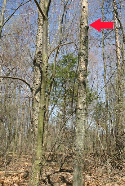 Perching Gray Treefrog, Hyla versicolor