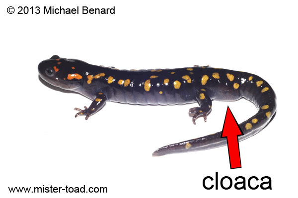 Salamander Anatomy Cloaca